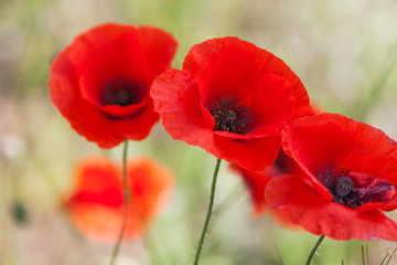 Wall Murals Poppy Beautiful red poppies isolated on garden background. Close up