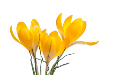 Crocus flower  isolated on white
