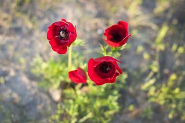 Red anemones stock photo image. Israel, February 2014.