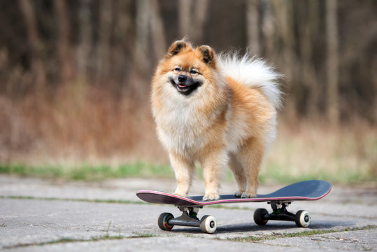 happy red spitz dog standing on a skateboard