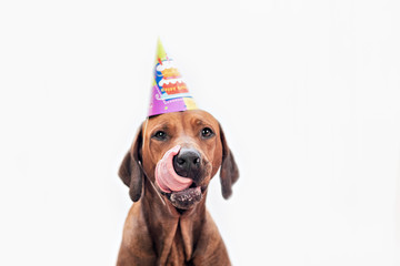 Dog celebrating birthday