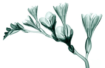 zdjęcie rentgenowskie kwiat na białym tle, Frezja
