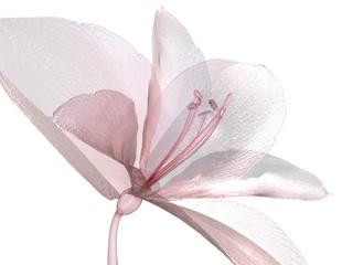 image of a flower isolated on white , the Amaryllis