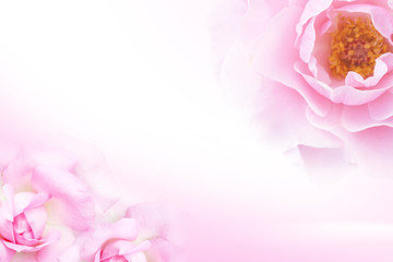Sweet Pink rose (soft light style) for background
