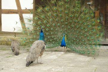 peacock with open tail with two hens