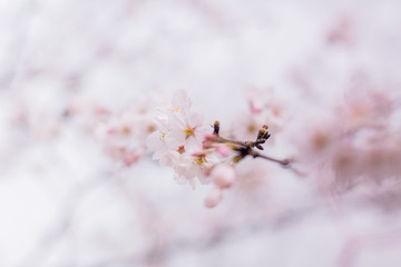 close-up of pink cherry blossom on branch