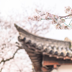 Cherry blossom with a tiled roof