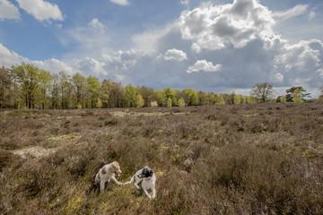 Heerde heather field with dogs