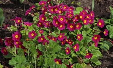 Garden. Purple primrose flowers
