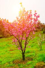 Blossoming pink sacura tree
