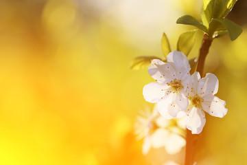 Obraz Kwiat śliwy  - fototapety do salonu
