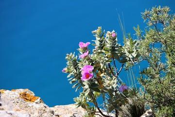 Ciste et romarin sur une falaise du littoral méditerranéen