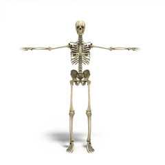 medical accurate 3d render of the human skeleton