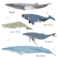Set of Whales from the world / Pygmy right whale, Bowhead Whale, Long-finned pilot Whale, Killer Whale, Pygmy Sperm Whale.