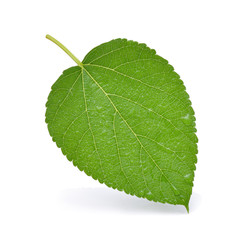 Mulberry with leaf with water drops on white background.