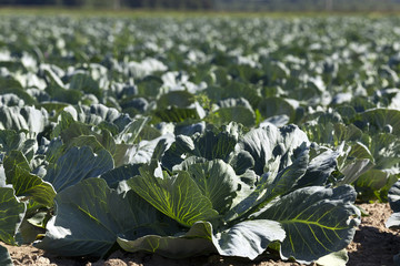 green cabbage in a field