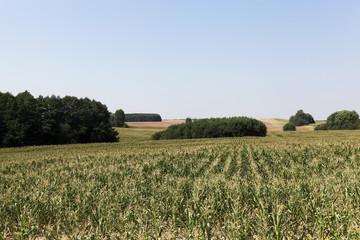 cornfield, blue sky