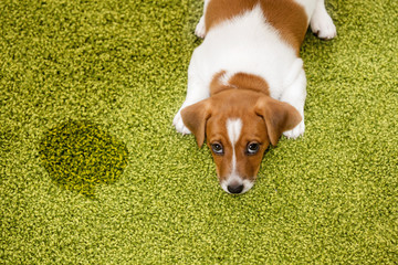 Puppy Jack russell terrier lying on a carpet and  looking guilty
