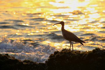 Silhouette of a whimbrel at sunrise in Paracas National Reserve,
