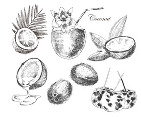 vector coconuts hand drawn sketch with palm leaf. vintage style detailed ink and pencil illustration