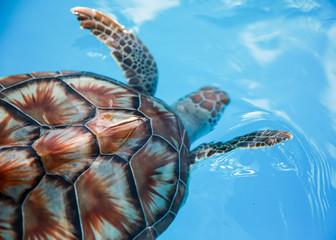 Sea turtle in blue. Cuba.