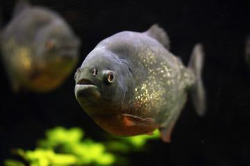 Red-bellied piranha (Pygocentrus nattereri)