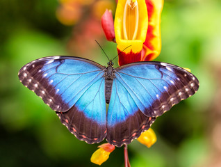 Peleides Blue Morpho on flower blossom