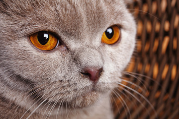 portrait of gray cat with yellow eyes Scottish Fold