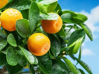 Ripe tangerine fruits on the tree.