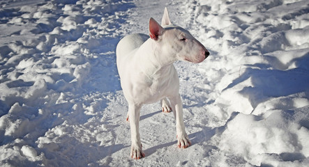 White Bull Terrier walks in the winter in nature