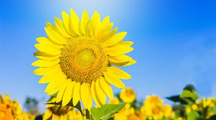 Sunflower in garden with sky background. Sunflower garden during