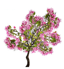 apple spring tree with large pink blooms