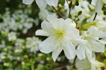 White azalea flowers on a bush in the spring garden