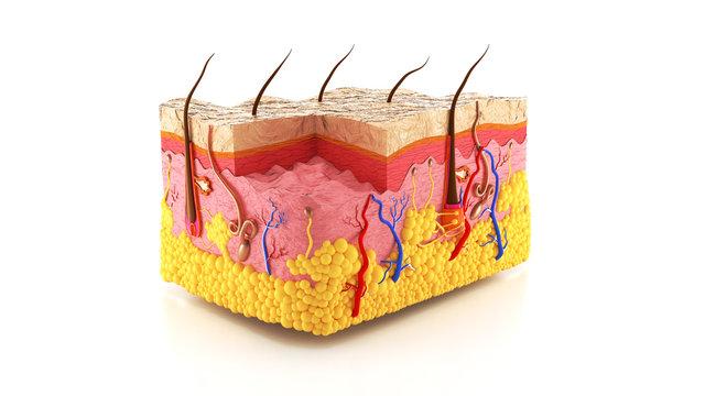 Human skin, skin structure, body fat, 3d. 3d render.