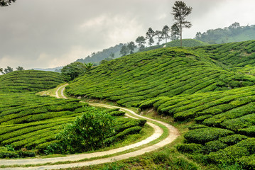 tea plantations in Cameron higlands in the north of Malaysia Wall mural