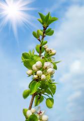 Flowering pear sprig