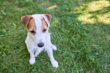 Jack Parson Russell Terrier puppy dog pet, tan rough coated, outdoors in park while laying on green grass lawn and playing