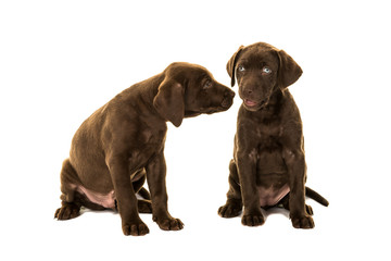 Two cute brown labrador retriever puppies sitting talking to each other isolated on a white background