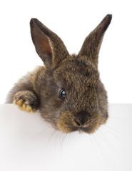 rabbit with blank billboard