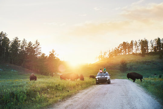 Father and daughter in car watching bison grazing in meadow, Custer State Park, South Dakota