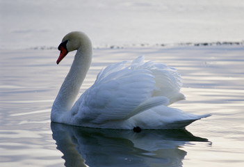 Beautiful background with the swan in the lake