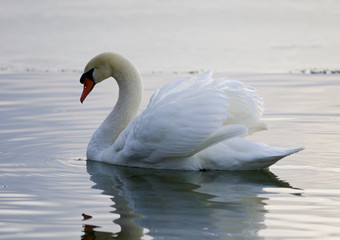 Beautiful image with the swan swimming in the lake