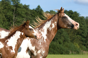 Appaloosa mare with foal running on meadow