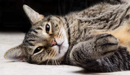 Short-Haired, Brown Tabby Cat Lying Down and Looking at the Camera.