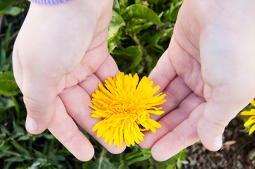 The Hands Of A Child And Dandelion