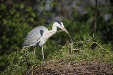 Fotoväggar - Grey heron, Ardea cinerea