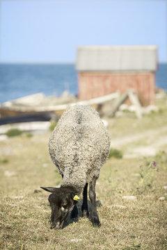 Sheep grazing at coast