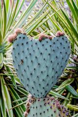 Feuille de Cactus, Figuiers de barbarie