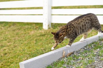 Farm cat walking the fence line to greet visitors