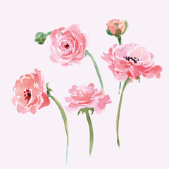 Watercolor blooming Ranunculus set. Hand drawn vector illustration.